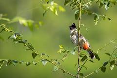 鸟的图象在一个分支的在自然背景 免版税图库摄影