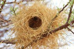 鸟的嵌套-水牛城织工-非洲 免版税库存照片
