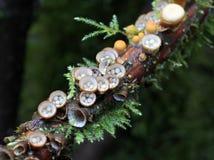 鸟的巢真菌- Crucibulum laeve 库存图片