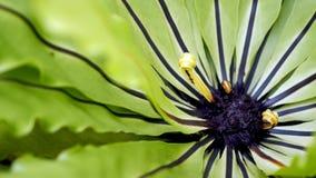 鸟的巢蕨 美好的圈子Bird';s巢蕨离开接近  免版税库存照片