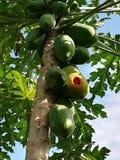 鸟的番木瓜 免版税库存照片