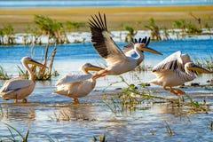 鸟的监视人在多瑙河三角洲 巨大白色鹈鹕飞行ove 免版税库存图片