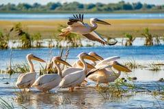 鸟的监视人在多瑙河三角洲 巨大白色鹈鹕飞行ove 免版税库存照片