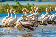 鸟的监视人在多瑙河三角洲 巨大白色鹈鹕飞行ove 库存照片