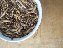 鸟的食物蠕虫 库存图片