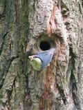 鸟的鸟与它的牺牲者的上升在树凹陷外面 生存在狂放 全身羽毛是青黄色的 用羽毛装饰te 库存图片
