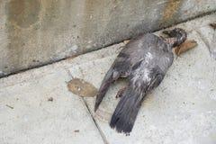 死鸟的鸽子 免版税库存图片