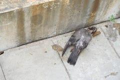 死鸟的鸽子 免版税图库摄影