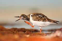 鸟的滑稽的图象 翻石鹬,鹅不食属interpres,在水中,与开放票据,佛罗里达,美国 从自然的野生生物场面 免版税库存照片