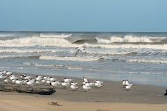 鸟皇家燕鸥和三明治燕鸥在得克萨斯海岸,顾 库存图片