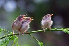 鸟看板卡问候例证安排唱歌您文本的向量 库存照片