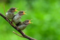 鸟看板卡问候例证安排唱歌您文本的向量 库存图片