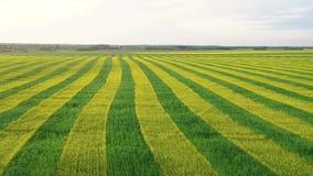 鸟瞰图农村领域种植与强奸黄色和绿色平行的线  股票录像