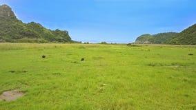 鸟瞰图宽绿色草甸和吃草水牛城 股票视频