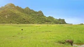 鸟瞰图无边的绿色草甸和吃草水牛城 股票视频