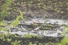 鸟瞰图:灌溉设备浇灌的圆白菜领域 灌溉系统浇灌的农田 库存照片