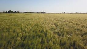 鸟瞰图:飞行在美丽的蓝天背景的绿色领域与云彩的 在日落时间的大麦领域 股票录像