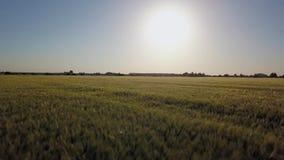 鸟瞰图:飞行在美丽的蓝天背景的绿色领域与云彩的 在日落时间的大麦领域 股票视频