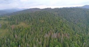鸟瞰图:飞行在Transcarpathian的针森林上 股票视频