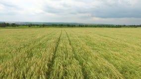 鸟瞰图 dof域金黄浅垂直的麦子 股票视频