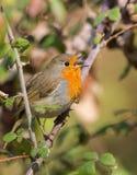 鸟知更鸟唱歌 库存图片