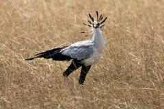 鸟秘书 图库摄影