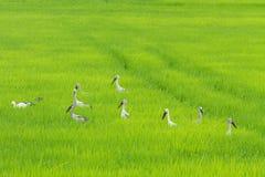 鸟稻 库存图片
