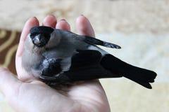 鸟红腹灰雀在手边 免版税库存图片