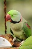 鸟绿色鹦鹉 图库摄影