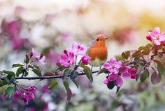 鸟罗宾坐一棵开花的桃红色苹果树的分支在春天庭院可以 库存图片