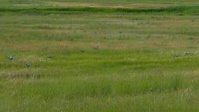 鸟群下沉入高草 影视素材