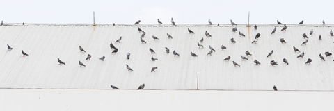 鸟群在屋顶的 免版税库存照片