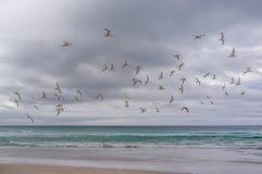鸟群在海洋上的 在彭宁顿海湾,钾的戴头巾珩科鸟 免版税库存照片