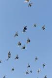 鸟群在蓝色的没有云彩 库存图片