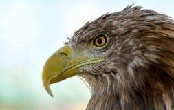 鸟老鹰题头掠食性骄傲的视域 库存图片