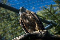 鸟老鹰 免版税图库摄影