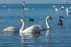 鸟老傻瓜或者flatted拉特 骨顶属atra和银鸥拉特 鸥属argentatus和疣鼻天鹅拉特 Olor在t的天鹅座冬天 免版税库存图片
