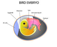 鸟胚胎 免版税库存图片