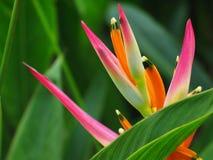 鸟花heliconia天堂 库存图片