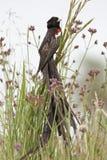 鸟草原长尾的寡妇 库存照片