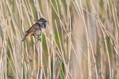 鸟蓝点颏芦苇 库存照片