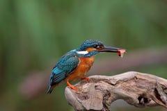 鸟蓝色公用翠鸟海滨 库存图片