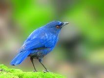 鸟蓝色台湾鹅口疮吹口哨 库存照片