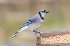 鸟蓝色尖嘴鸟 免版税图库摄影