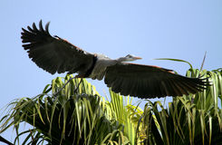 鸟蓝色极大的苍鹭 免版税库存图片