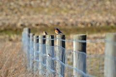 鸟蓝色范围 图库摄影