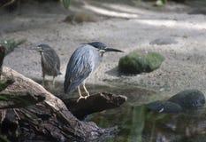 鸟蓝色银色 免版税图库摄影