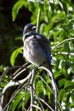 鸟蓝色 库存图片