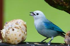 鸟蓝色 免版税库存图片