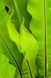 鸟蕨嵌套 免版税图库摄影